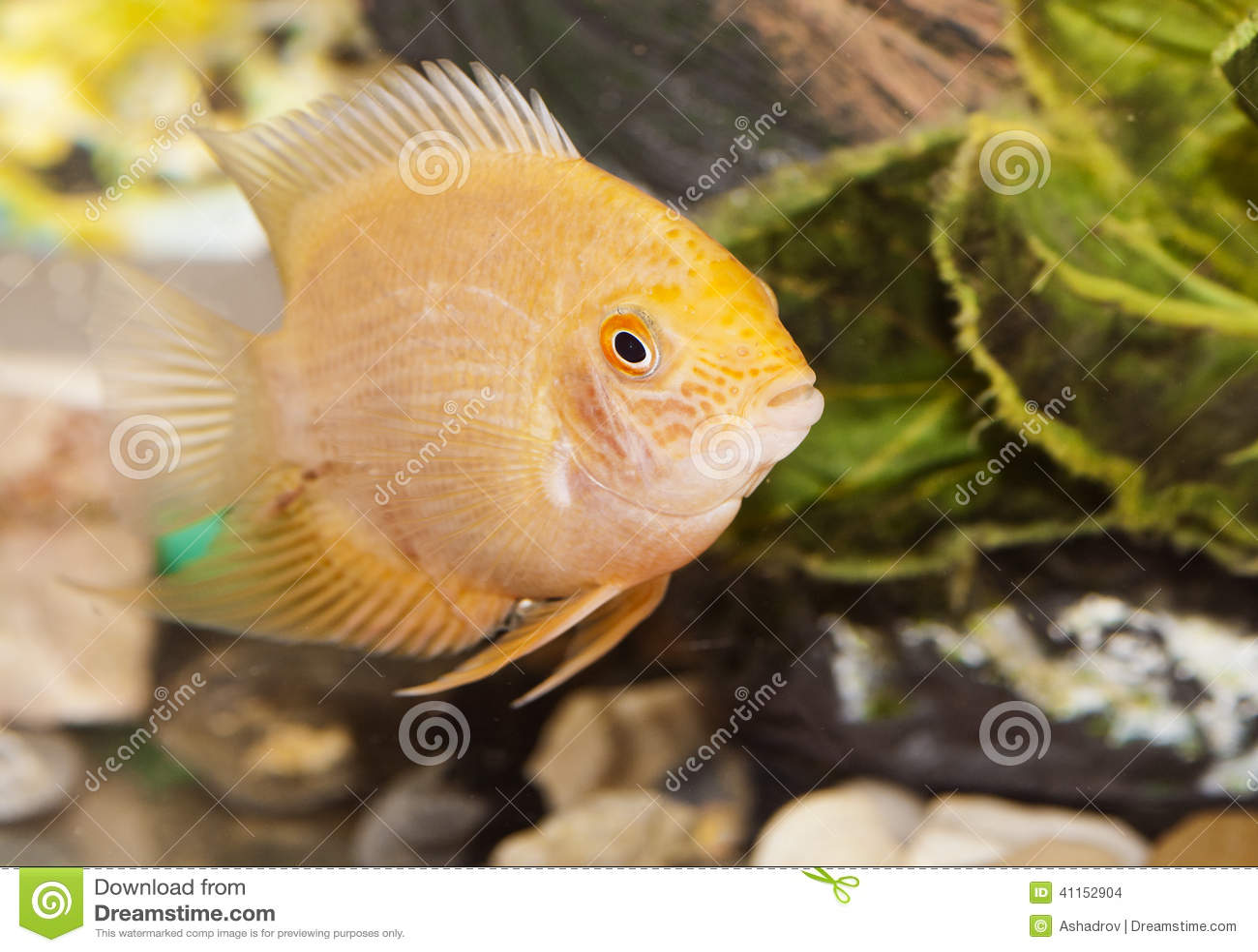 Aquarian Small Fish Stock Photo Image 41152904