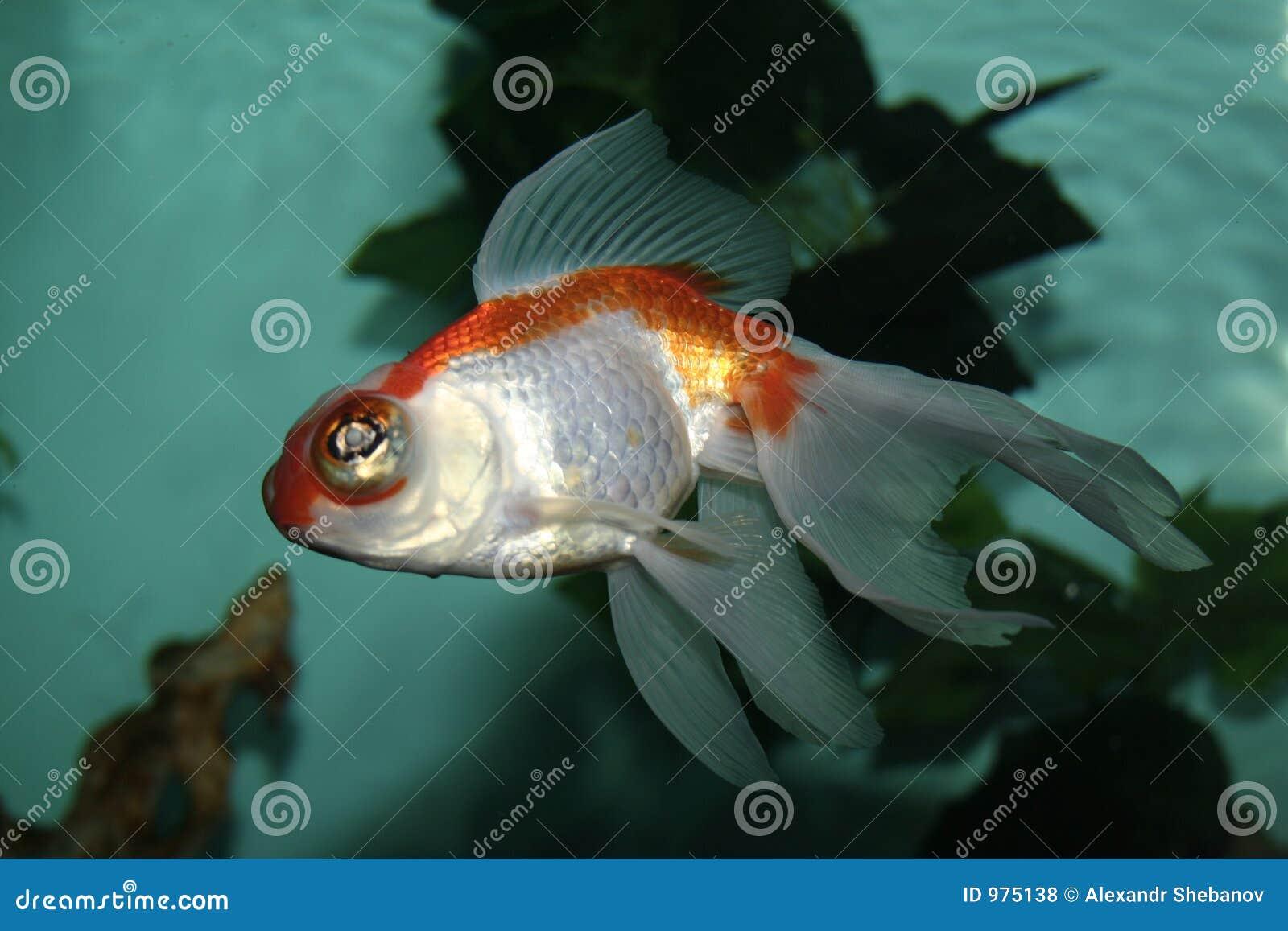 Aquarianfisk
