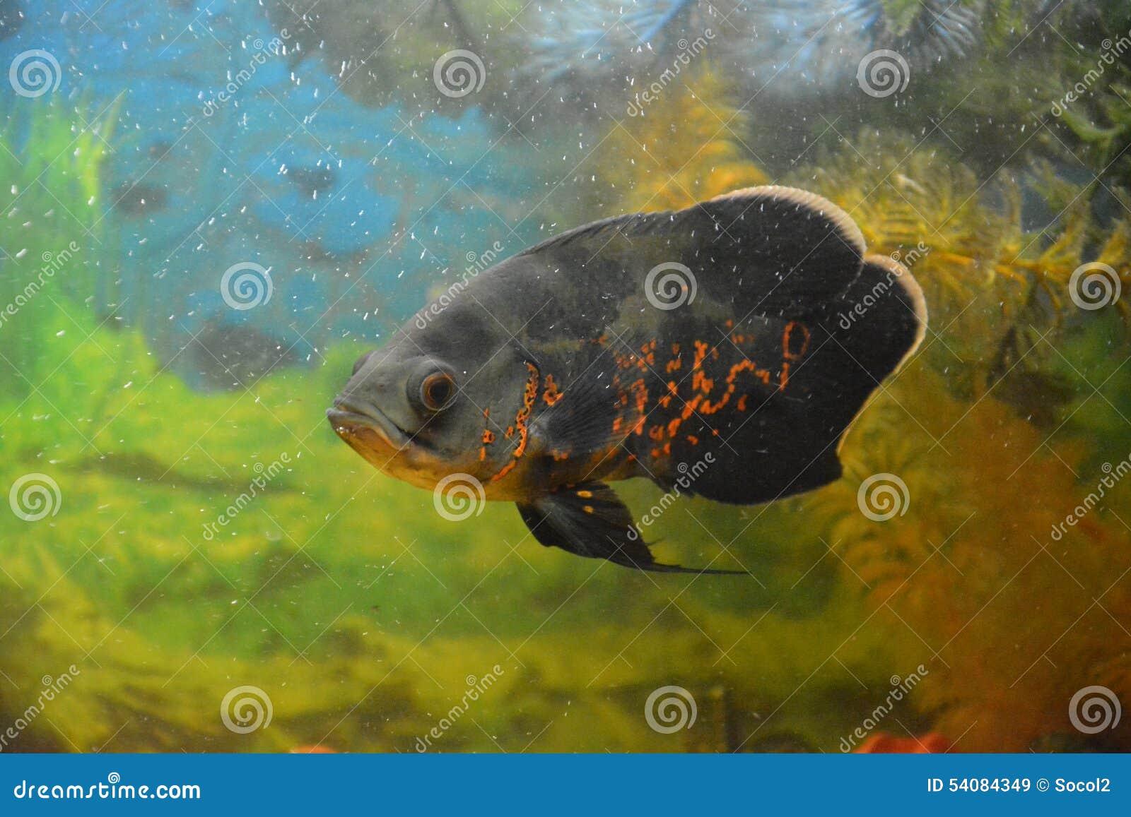 Aquarianvissen Astronotus een roofdier de springen-uit kleine vissen