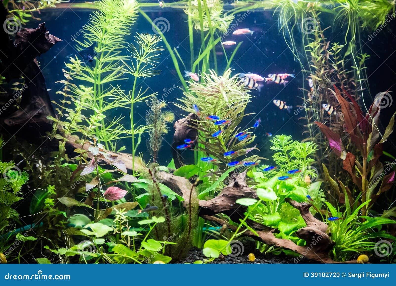 aquarium d 39 eau douce de ttropical avec des poissons photo stock image 39102720. Black Bedroom Furniture Sets. Home Design Ideas