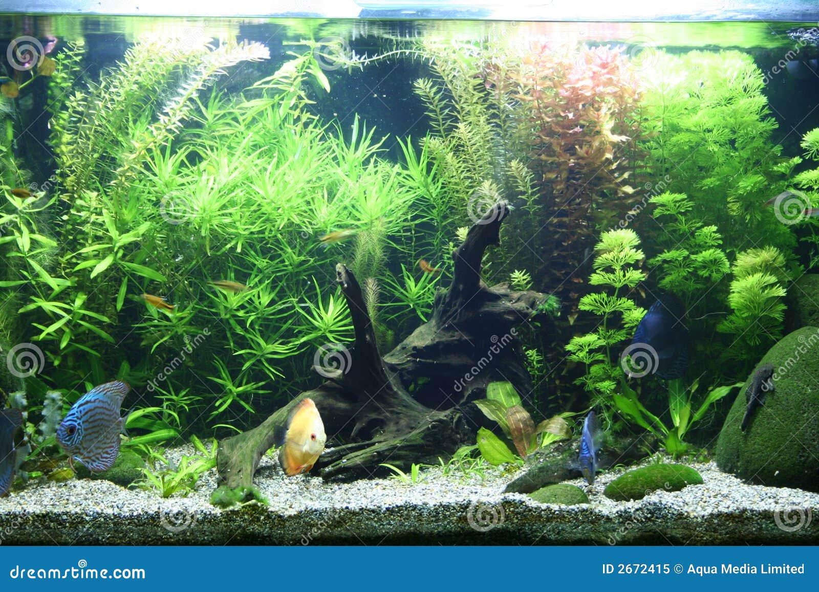 Aquarium d 39 eau douce tropical photo libre de droits for Aquarium eau douce