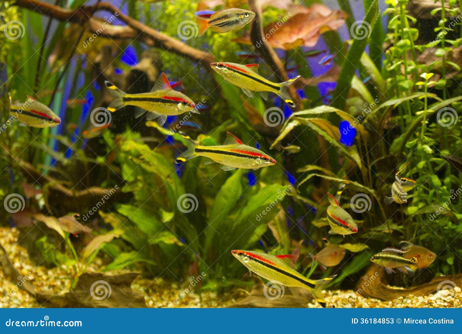 aquarium d eau douce tropical image stock image 36184853