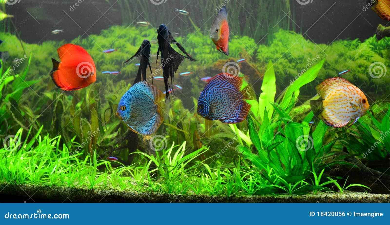 Aquarium de maison d 39 eau doux avec des poissons de disque for Aquarium avec poisson