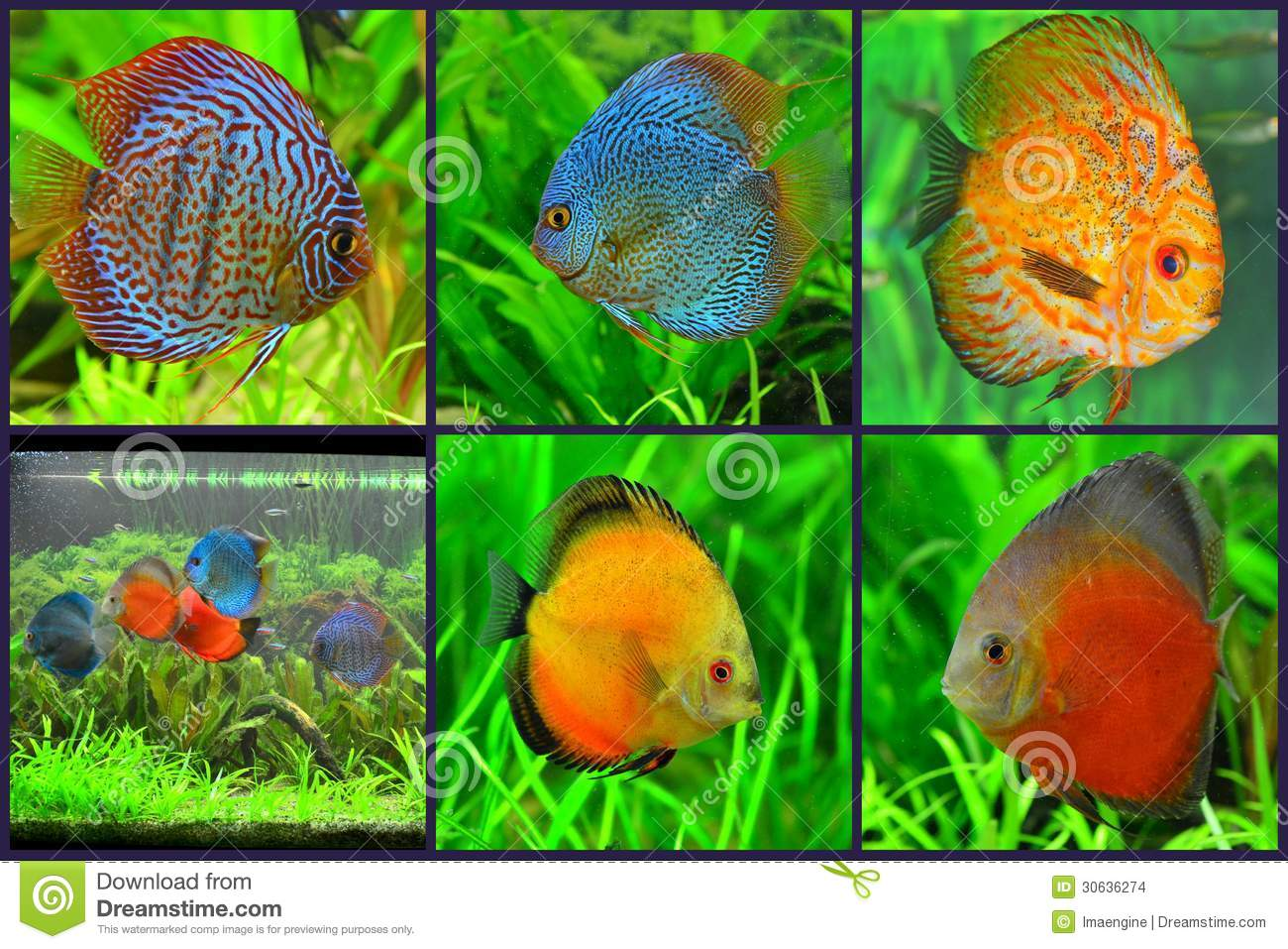 Fish Tank Animals : Aquarium - Discus Fish Varieties Collage Stock Images - Image ...