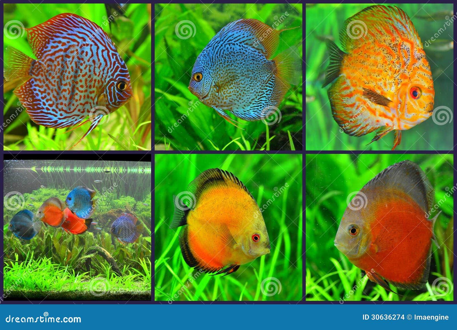 Aquarium - Discus Fish Varieties Collage Stock Images - Image ...