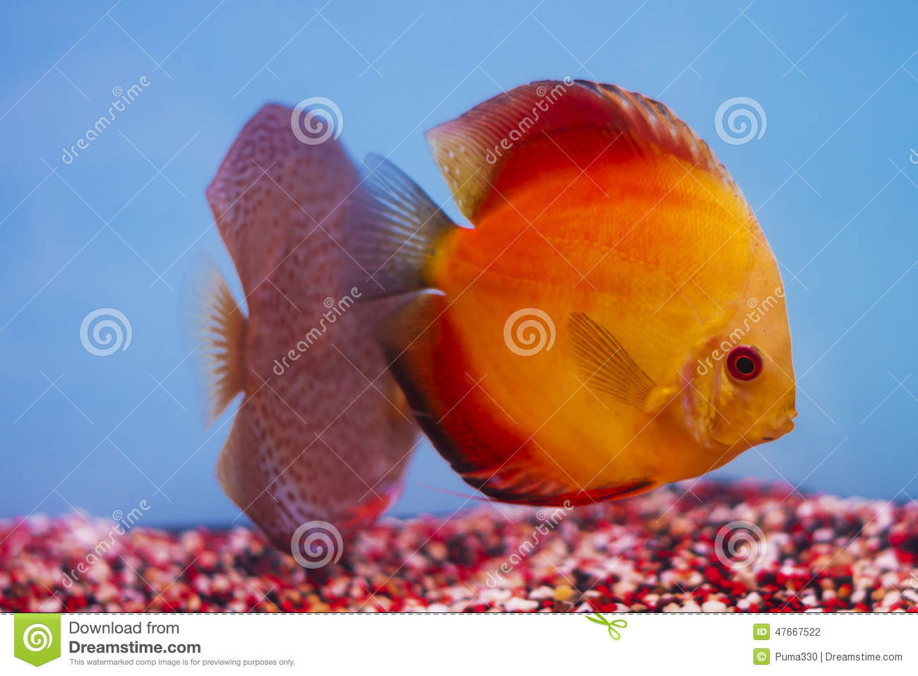 Aquarium - Discus Freshwater Aquarium Fish Stock Photo - Image of ...