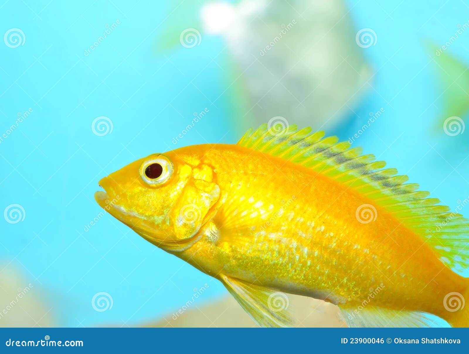 Aquarium fish royalty free stock image image 23900046 for Yellow fish tank water