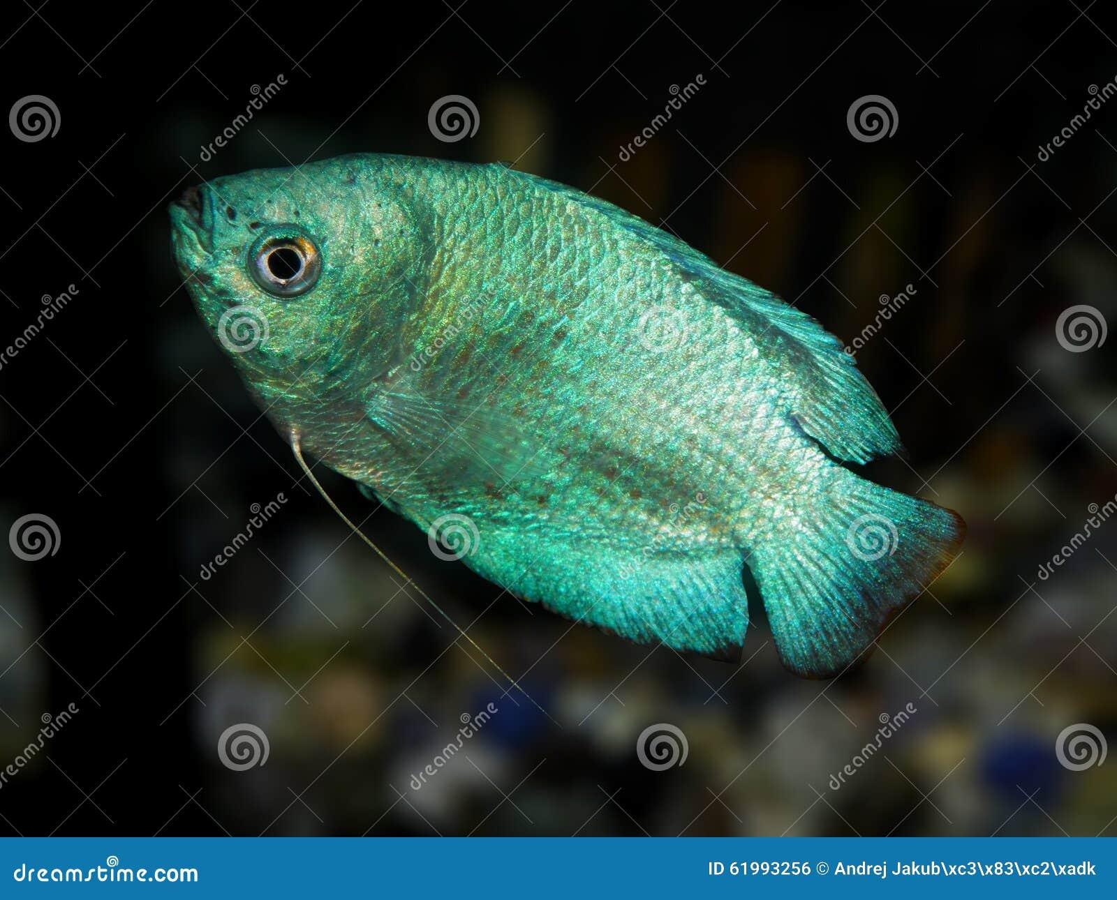Freshwater aquarium fish from asia - Aquarium Fish Anabantoidae Family