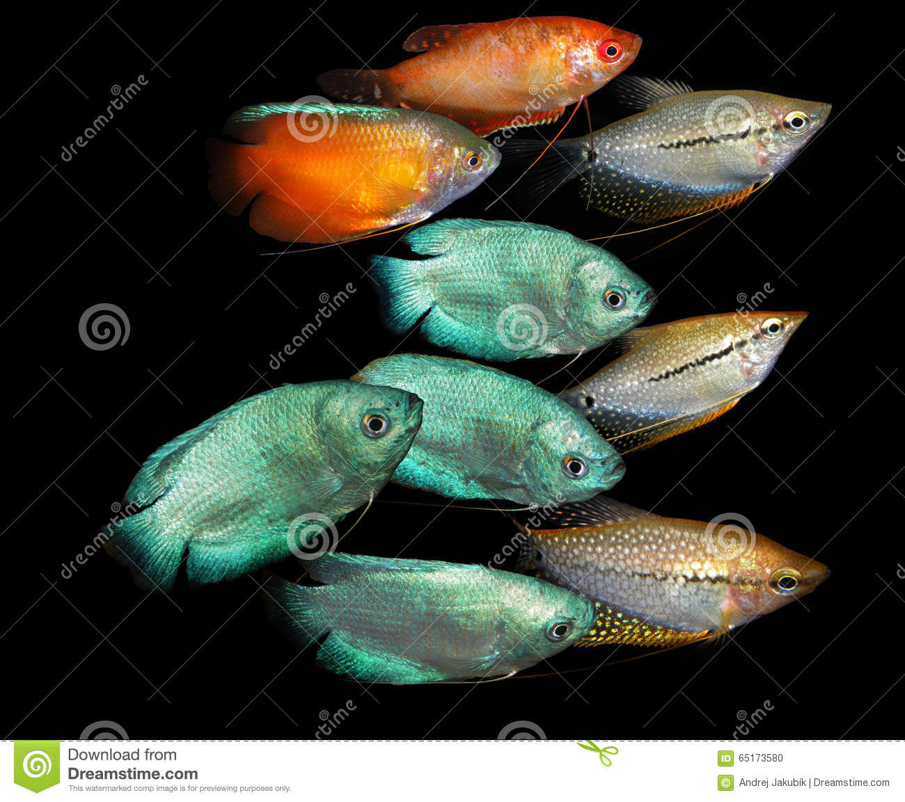 Freshwater aquarium fish from asia - Aquarium Fish Anabantoidae Family