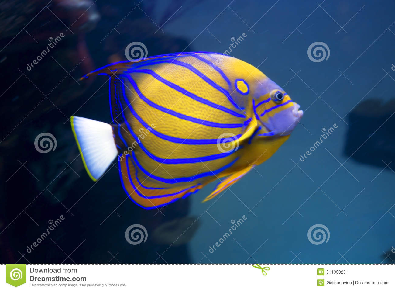 Aquarium Fish Angel Stock Image Image Of Stripes White 51193023