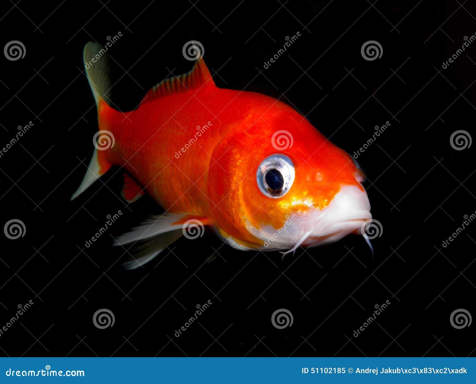 Fish for asian aquarium - Aquarium Fish From Asia Goldfish