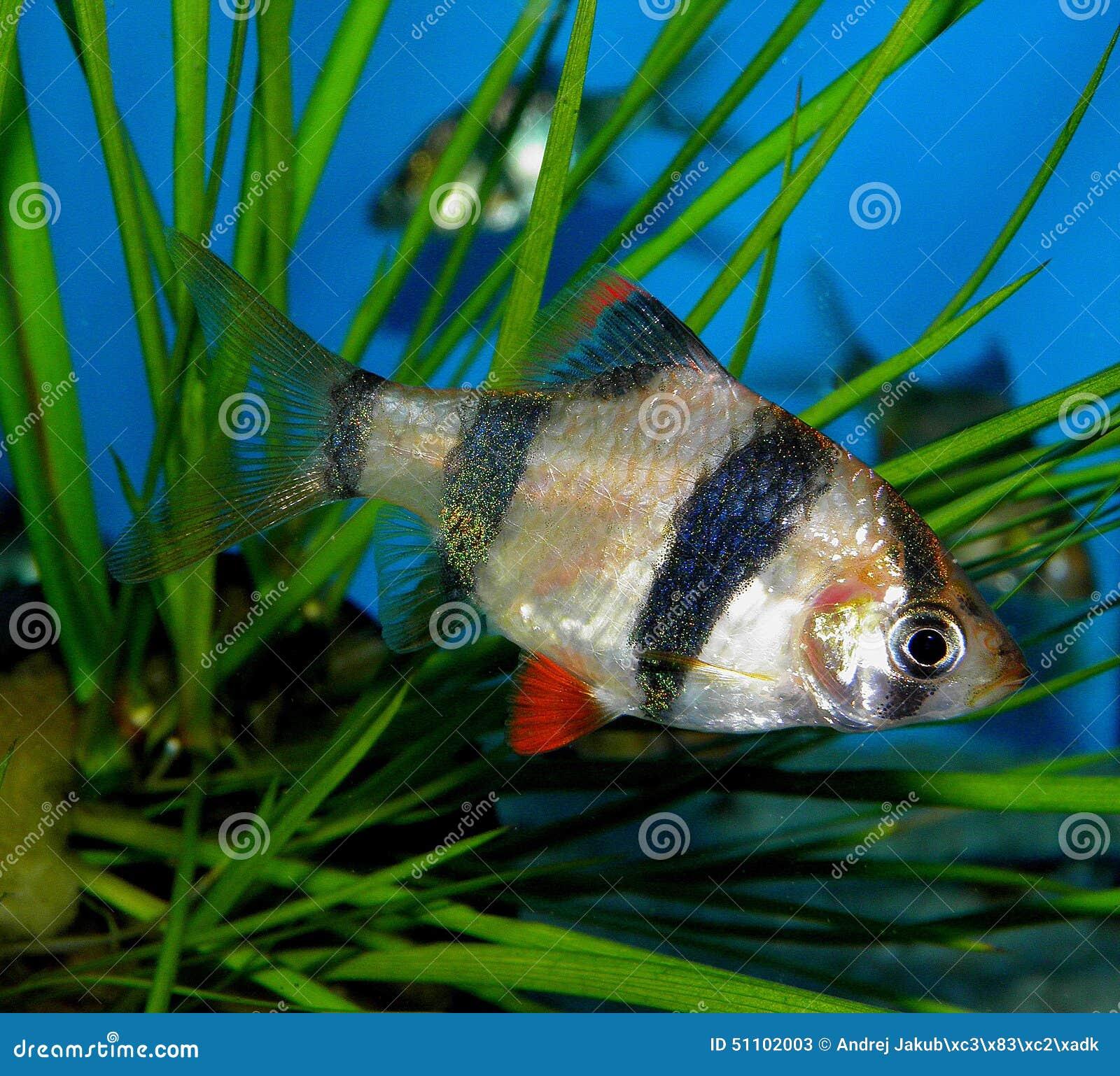 Freshwater aquarium fish from asia - Aquarium Fish From Asia Puntius