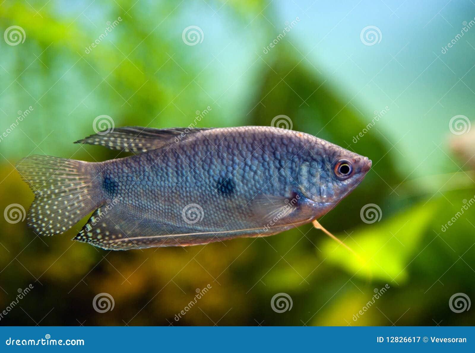 Aquarium fish blue gourami royalty free stock for Blue fish aquarium