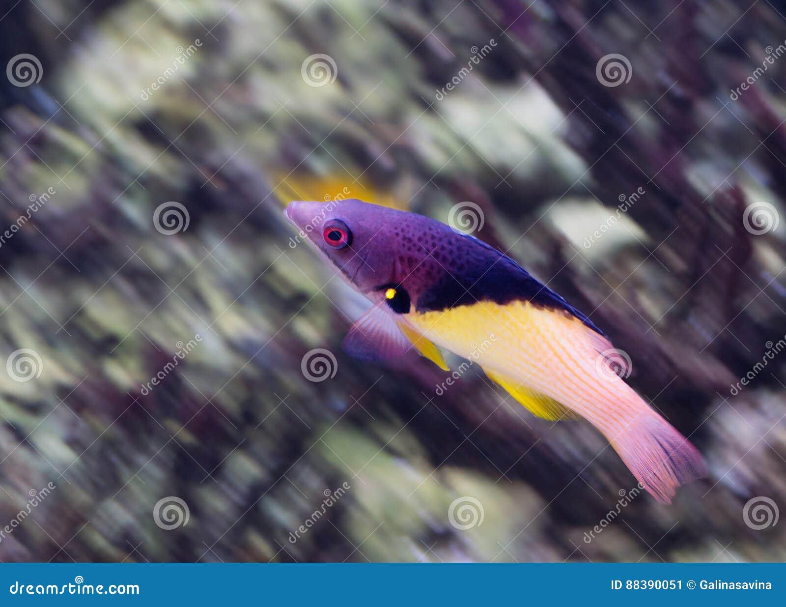 Aquarium Fish Bodian Stock Image Image Of Fins Purple 88390051
