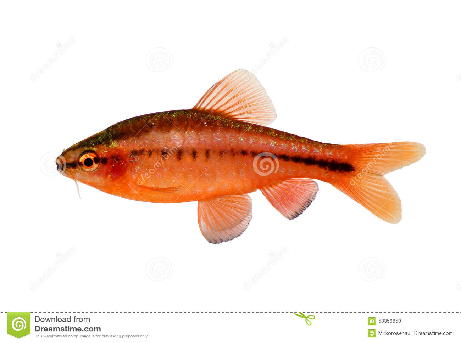 Aquarium fish cherry barb puntius titteya freshwater for Cherry barb fish