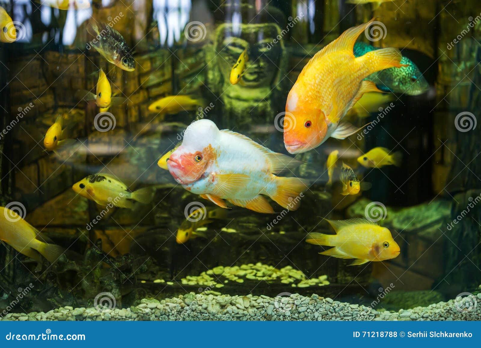 Freshwater aquarium fish cichlids - Aquarium Fish Cichlids