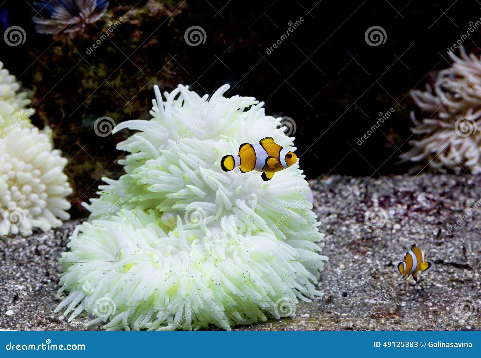 Aquarium Fish Clown Stock Image Image Of Scales Fins 49125383