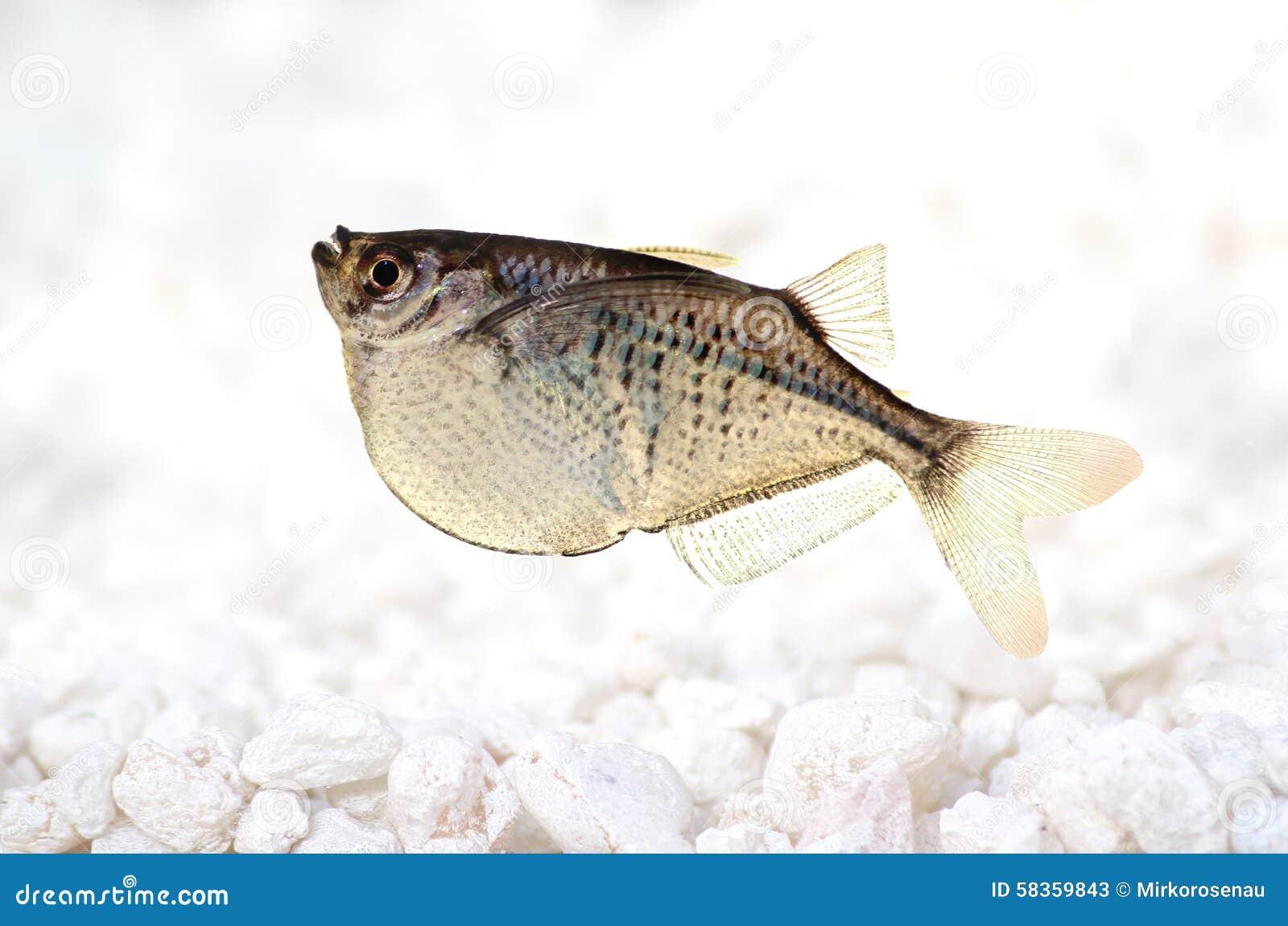 Aquarium Fish Common Silver Hatchetfish Gasteropelecus Sternicla