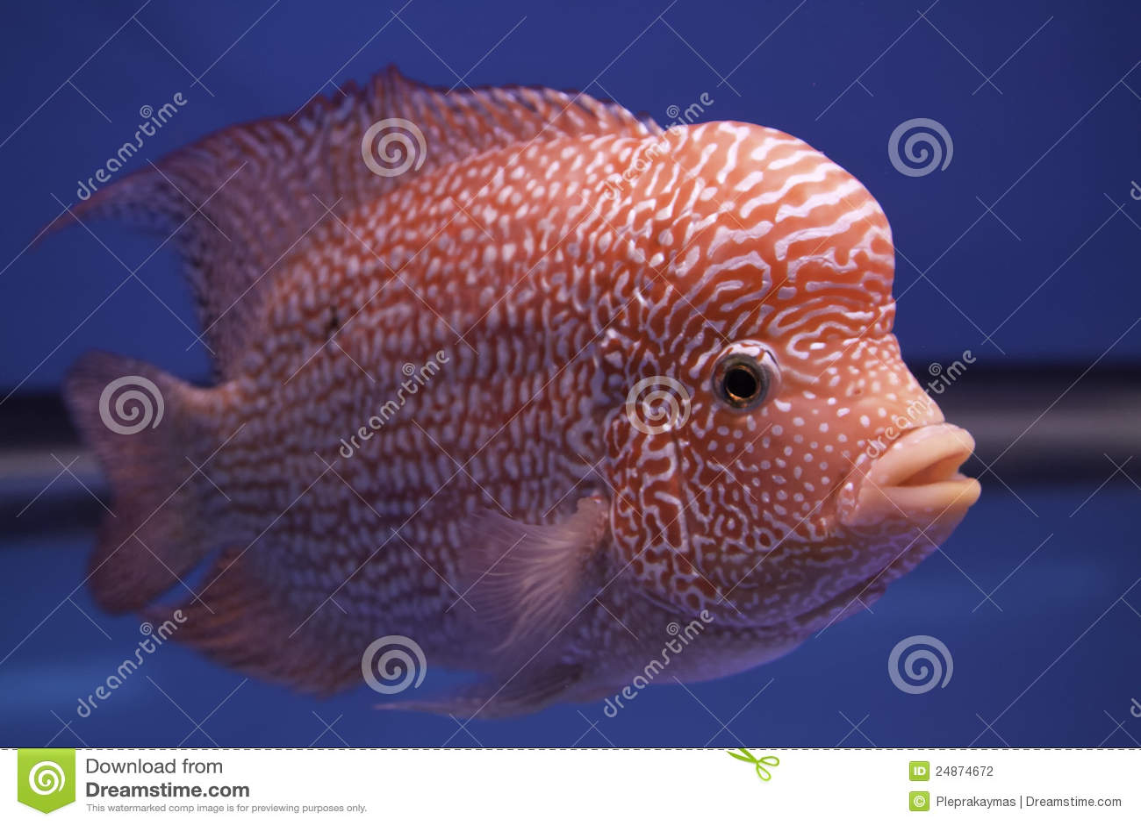 Aquarium Fish Flower Horn Fish Stock graphy Image