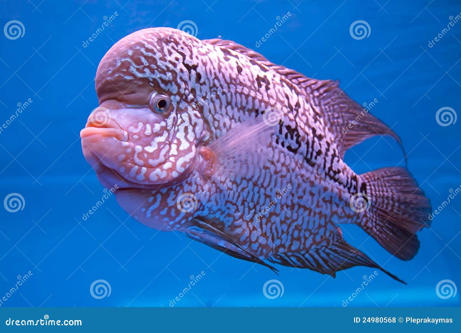Aquarium Fish Flower Horn Fish Royalty Free Stock s Image