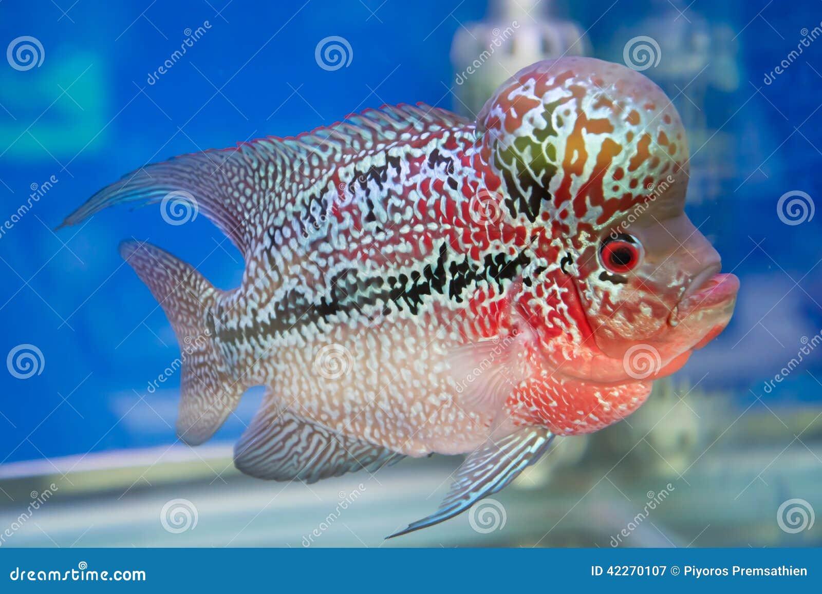 Blue Flower Horn Fish