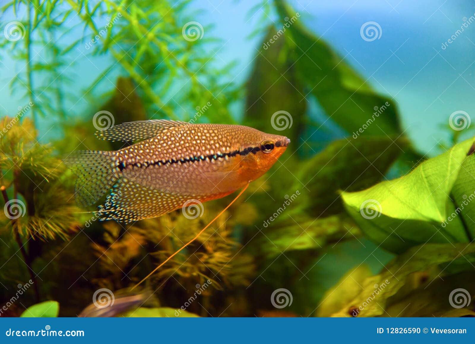 Aquarium Fish Pearl Gourami Stock Photo Image 12826590