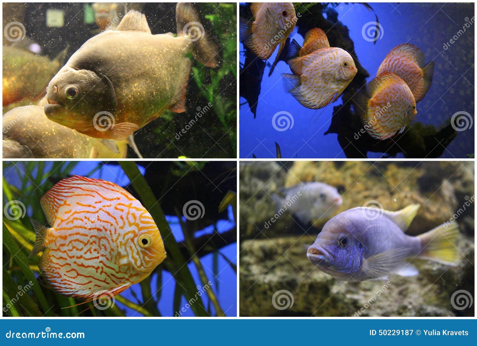 Freshwater aquarium fish piranha - Aquarium Fish Piranha Discus Cichlid