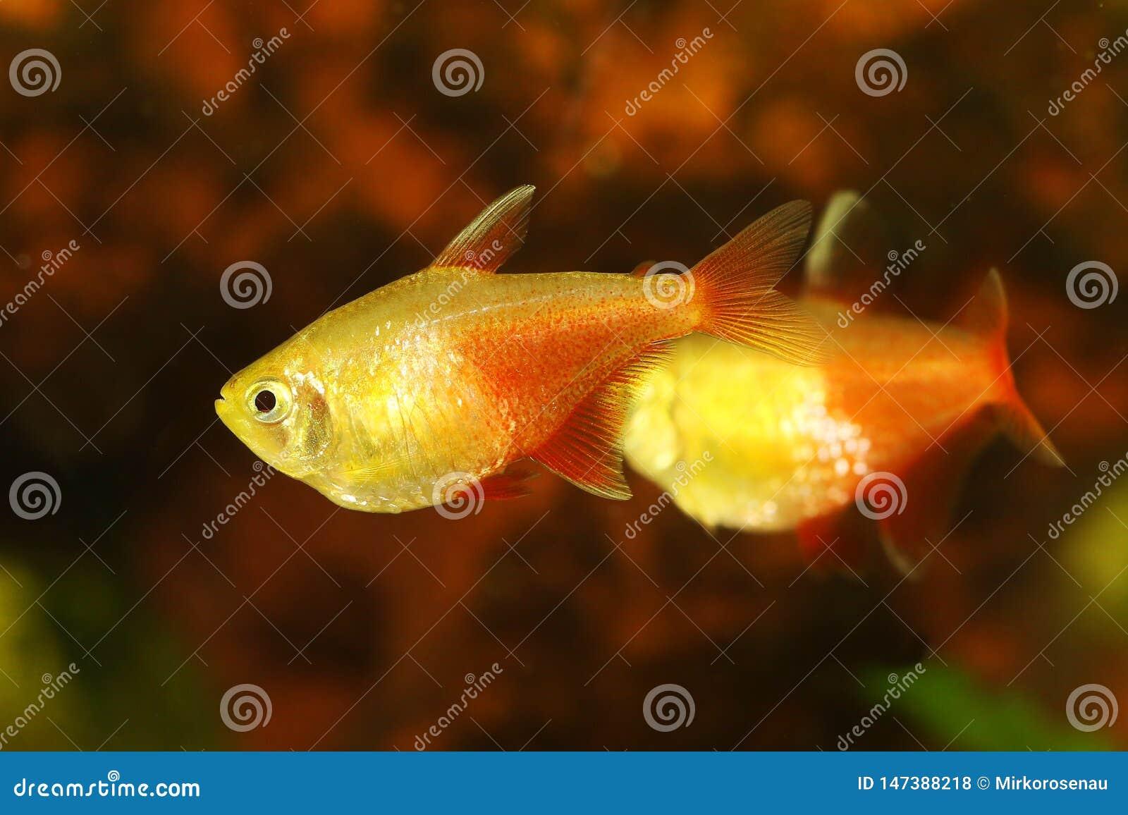 Aquarium fish Red Flame Tetra Hyphessobrycon flammeus Rio tetra tropical