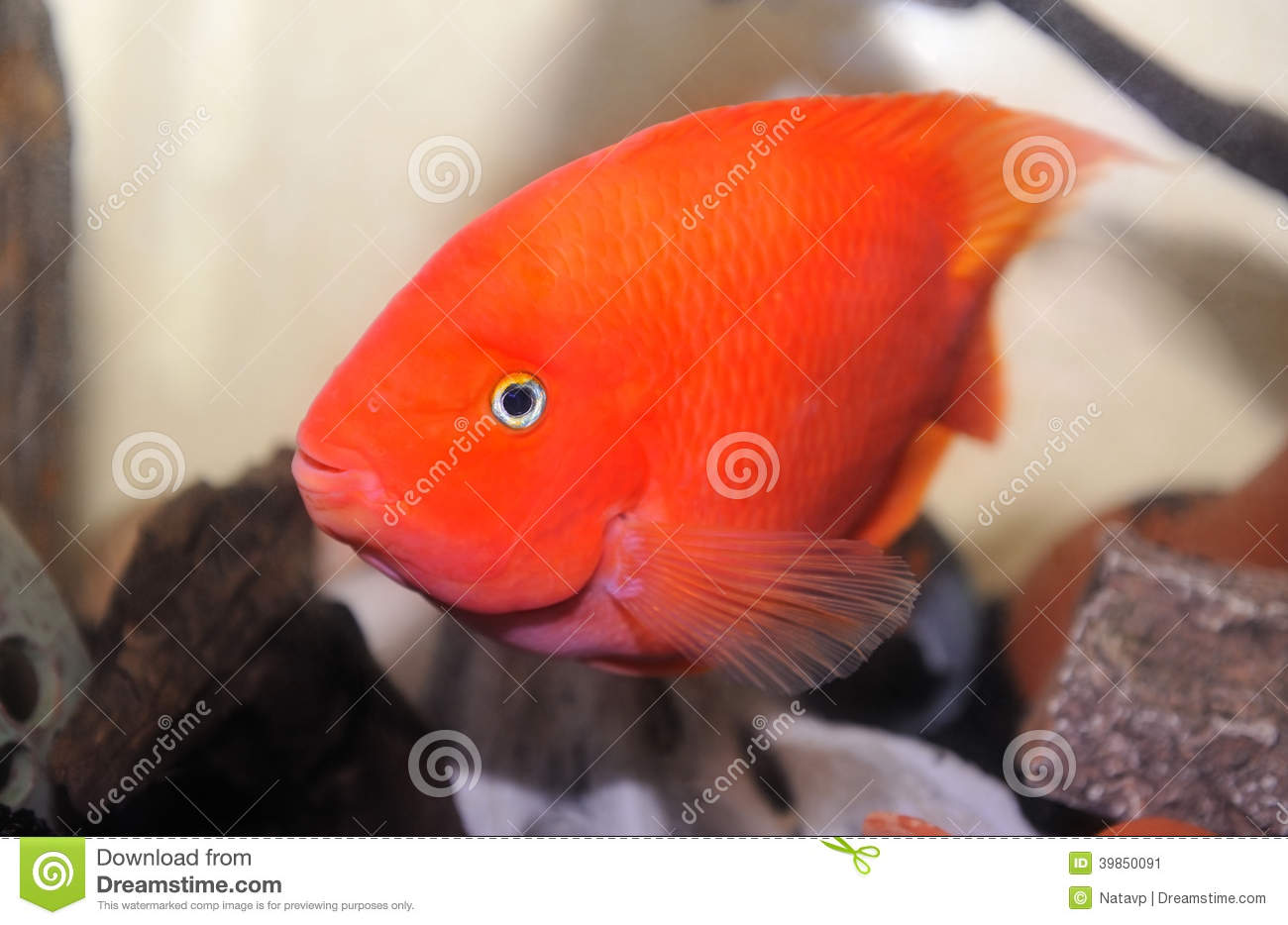 Aquarium Fish Red Parrot Cichlid Stock Image - Image of freshwater ...