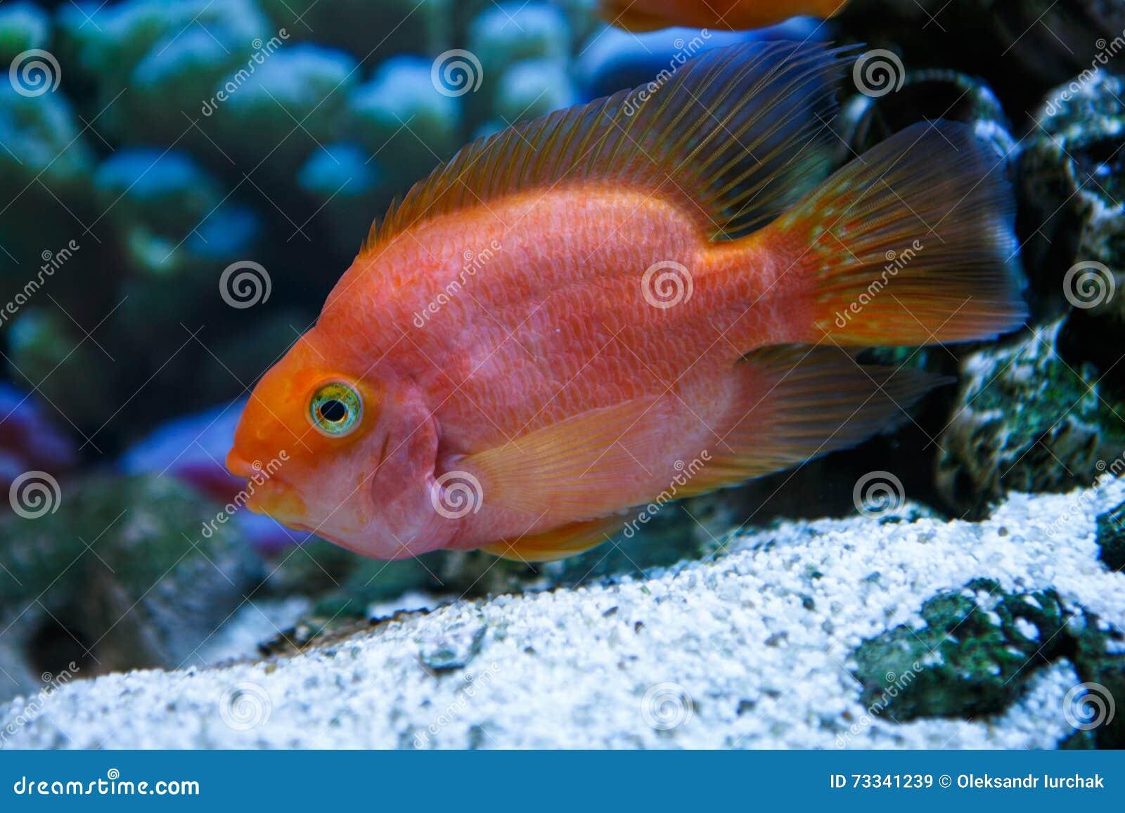 Aquarium Fish Red Parrot In A Profile Stock Image - Image of close ...