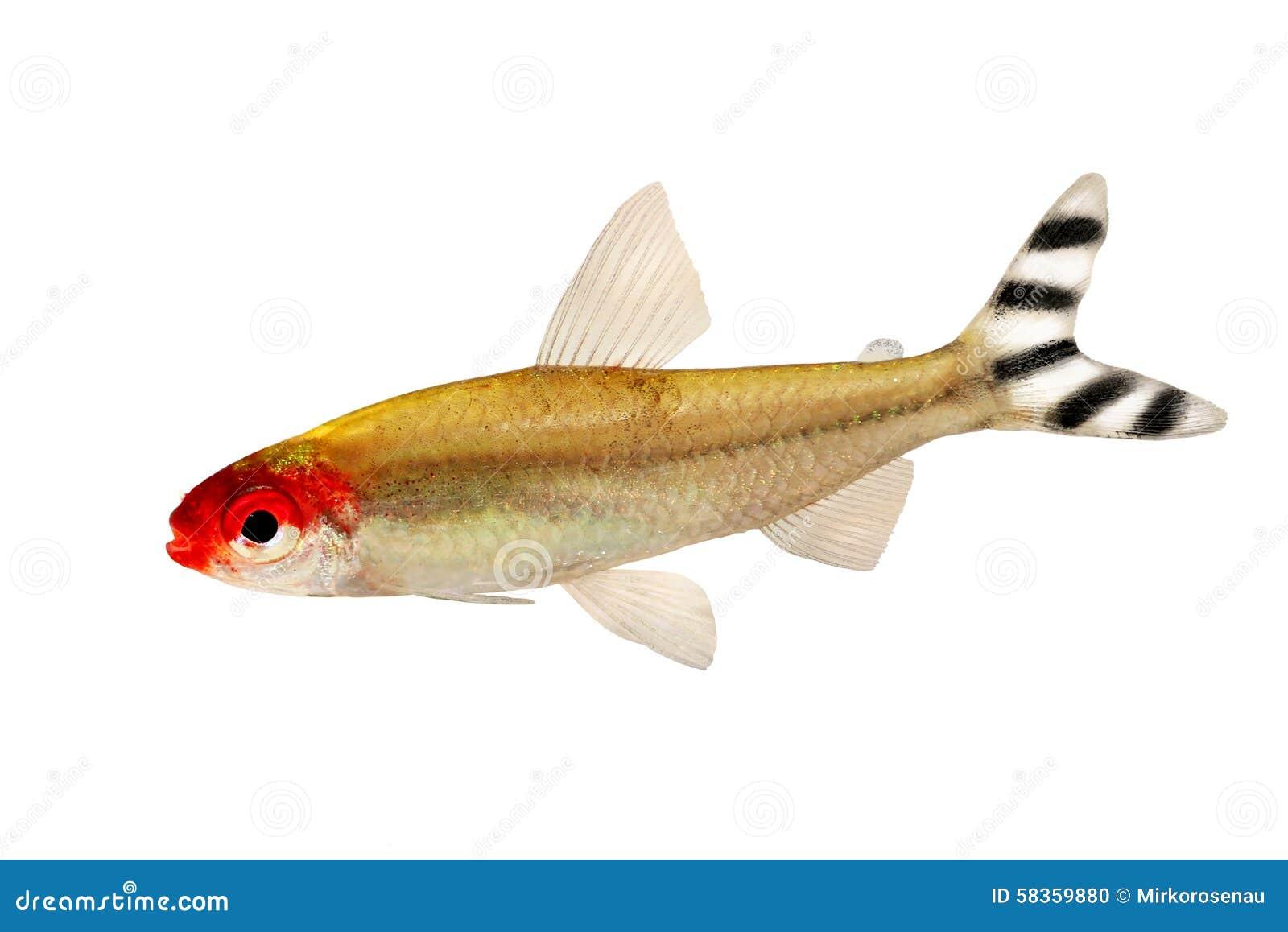 Freshwater aquarium fish rasbora - Aquarium Fish Rummy Nose Tetra Hemigrammus Rhodostomus Bleheri Freshwater Stock Photo