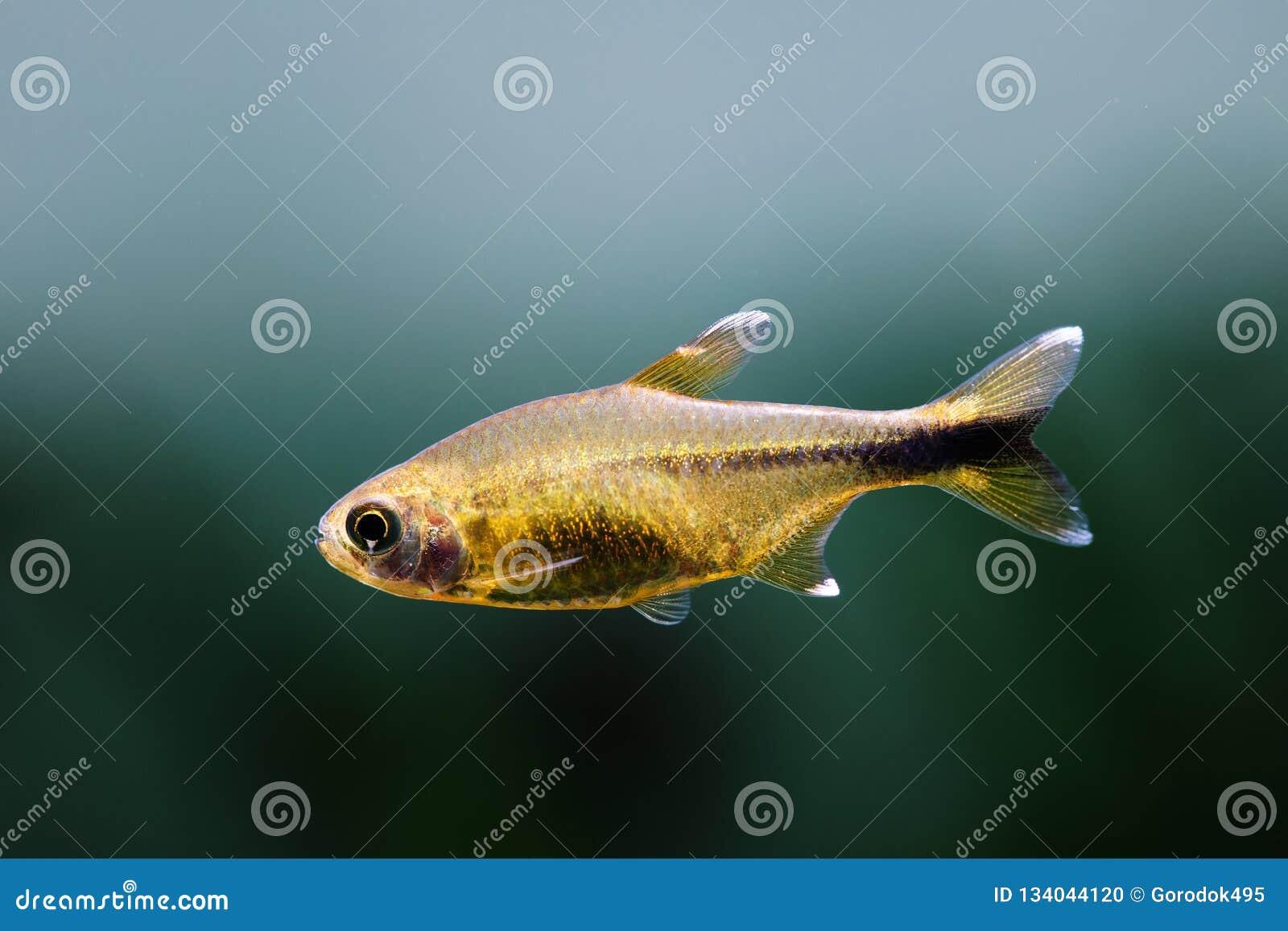 Aquarium fish Silver Tipped Tetra. Macro view orange gold color fish pattern, soft focus blurred background