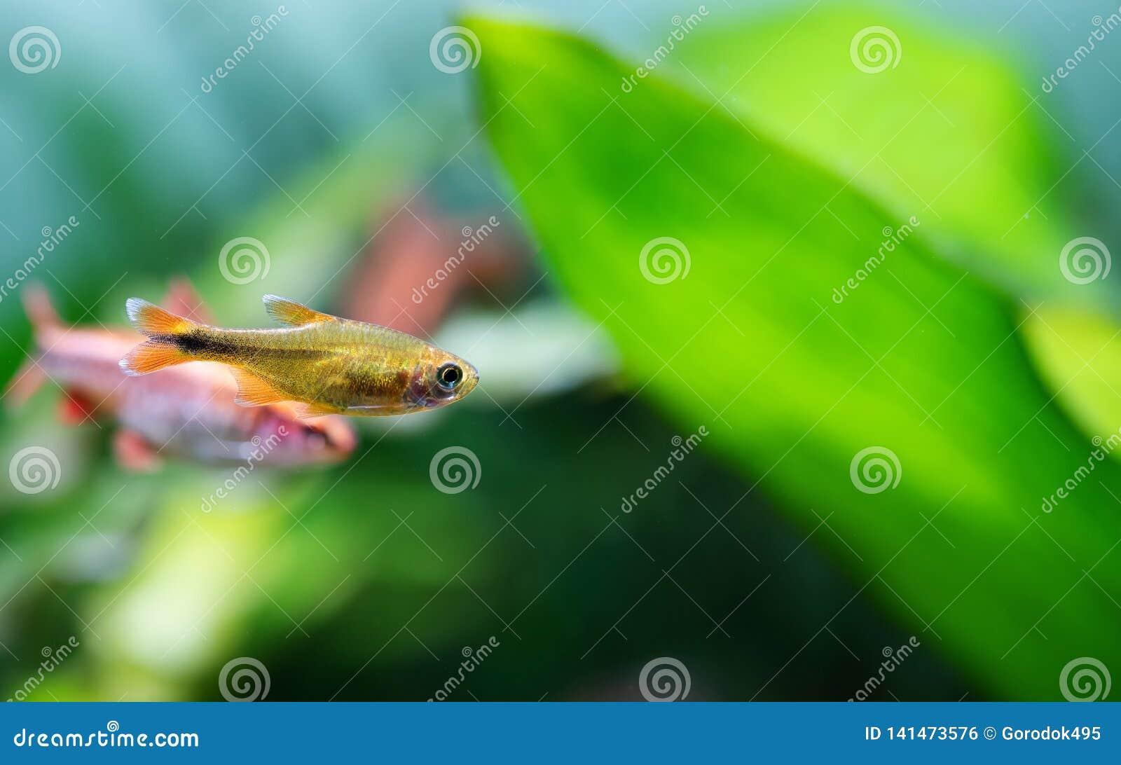 Aquarium fish Silver Tipped Tetra. Macro view orange gold color fish pattern, soft focus, green blurred background. copy