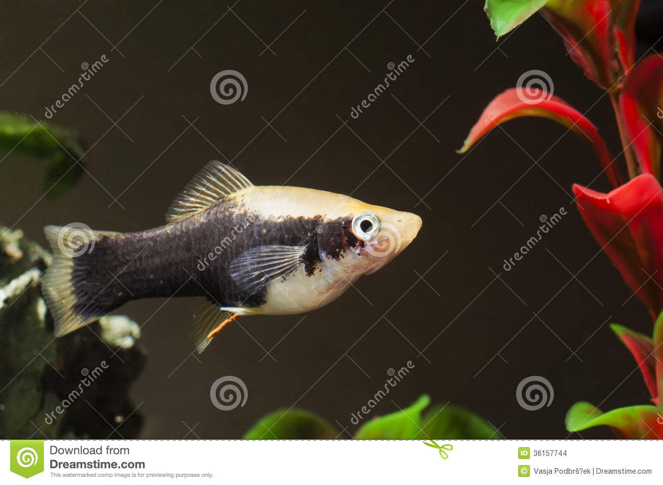Aquarium fish stock images image 36157744 for Small tropical fish