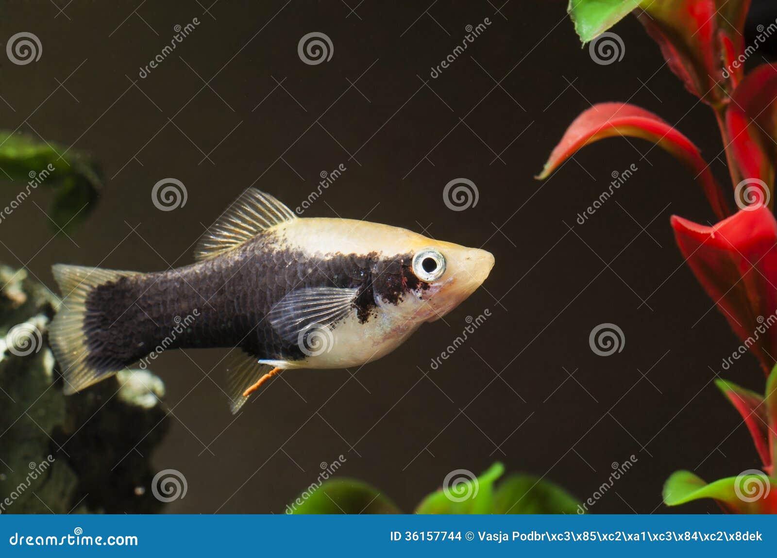 Aquarium fish stock images image 36157744 for Small pet fish