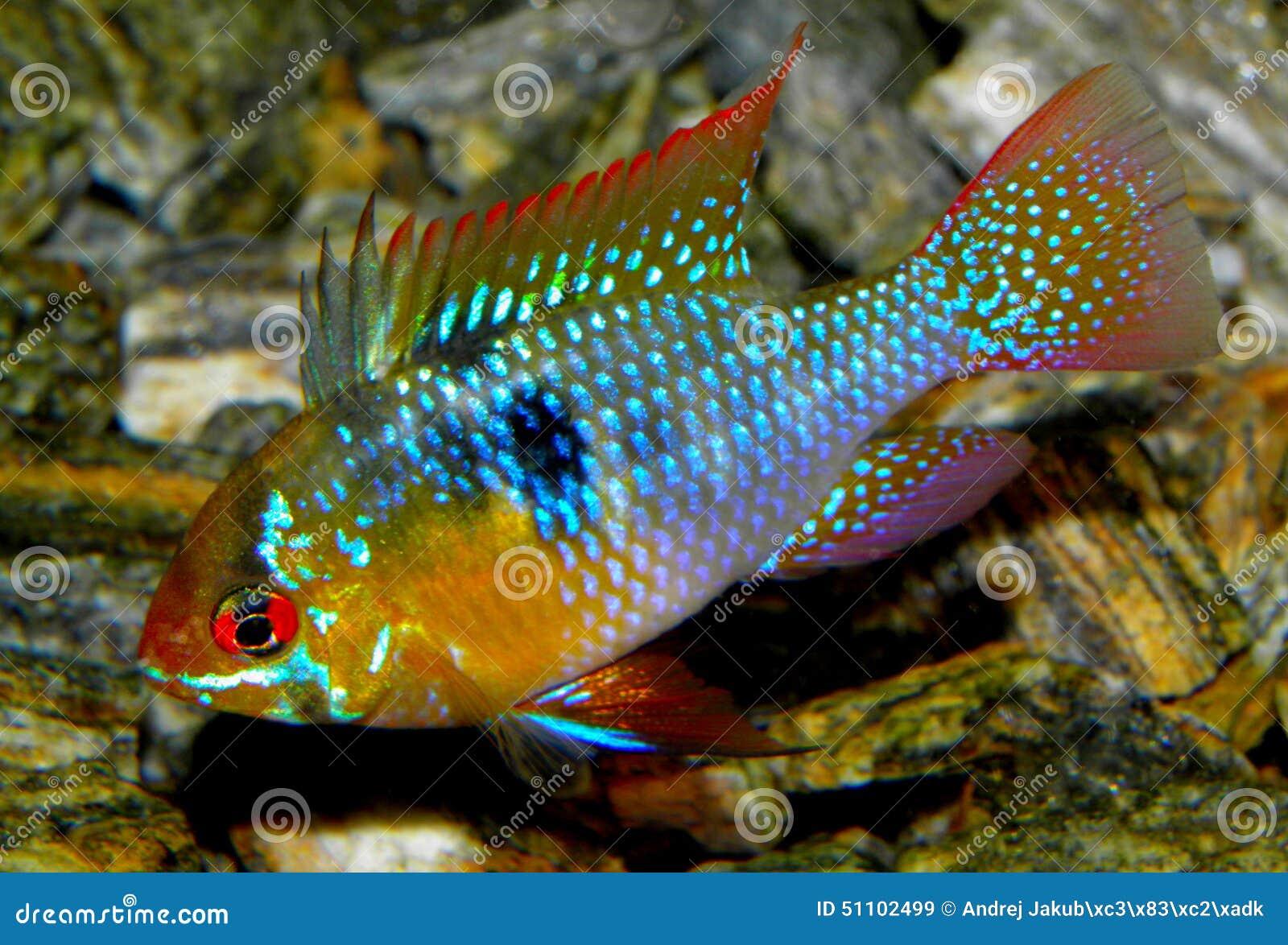 Aquarium Fish From South America Ram Cichlid Stock Photo