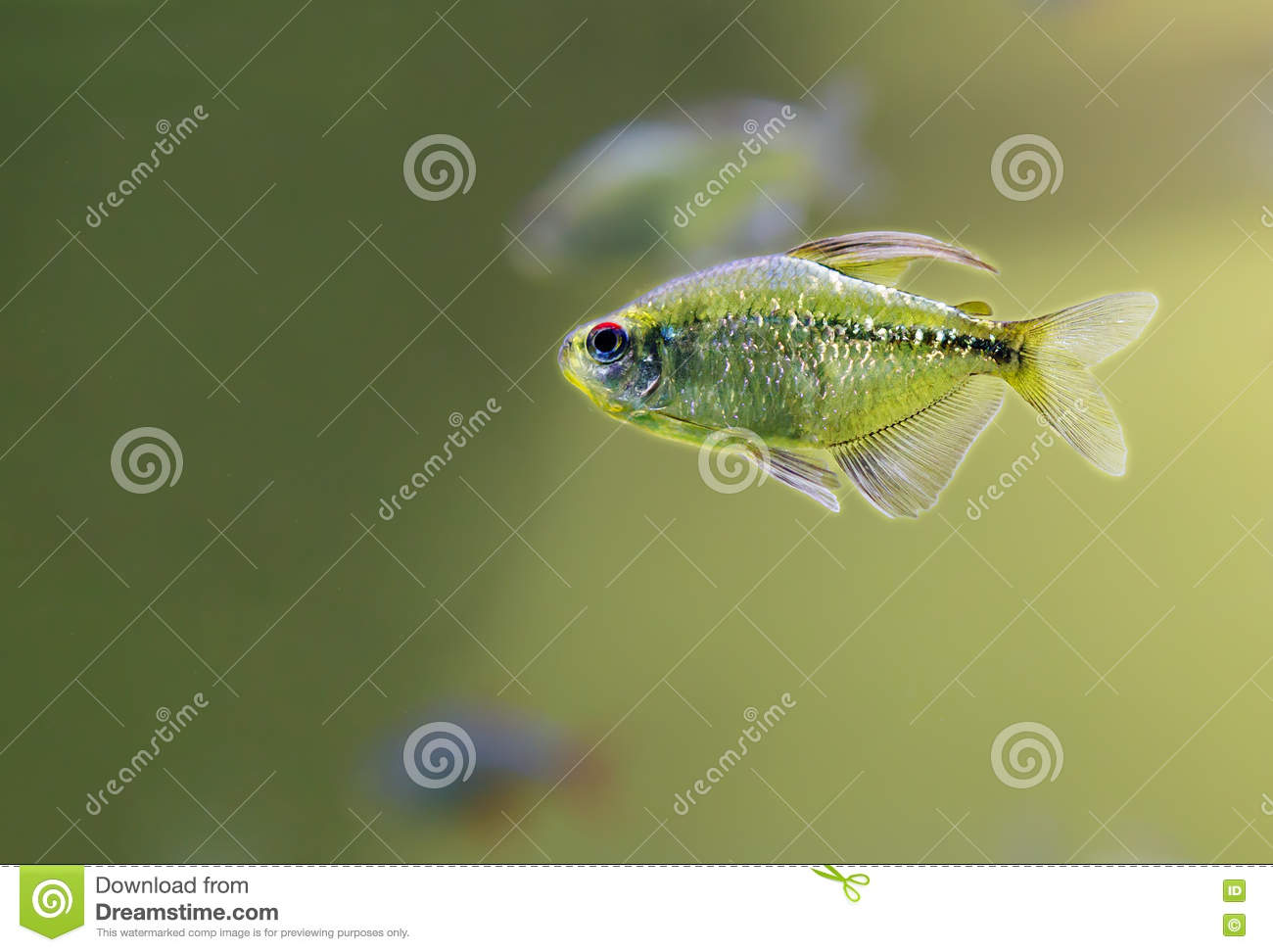Aquarium Fish Tetra Diamond Stock Photo - Image of south, aquarium ...
