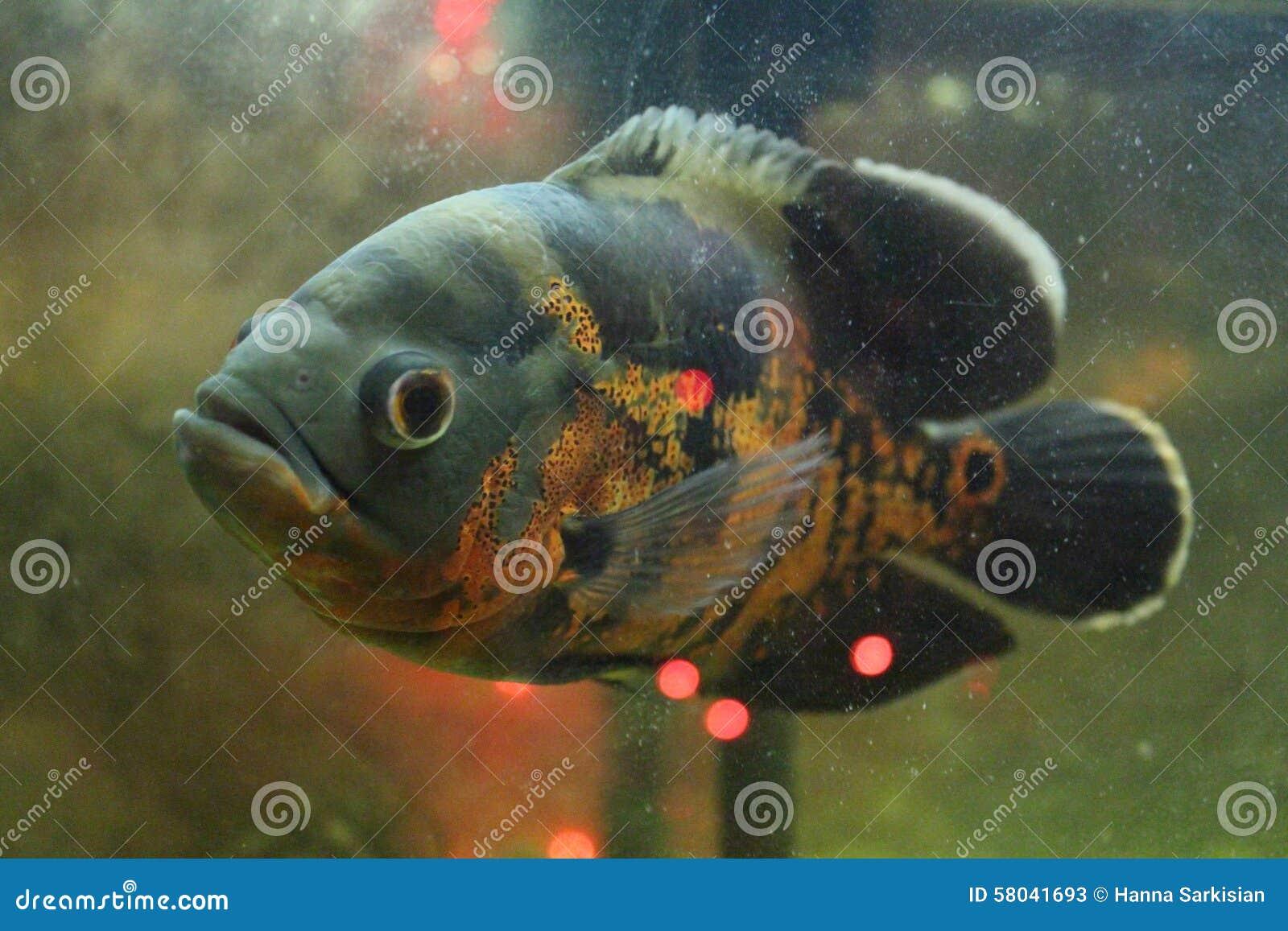 Stock Photos Aquarium Fish Image 58041693