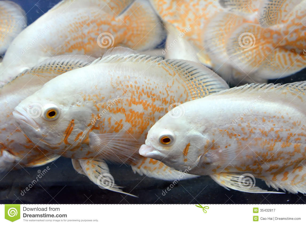 aquarium fishes royalty free stock photography image 35432817