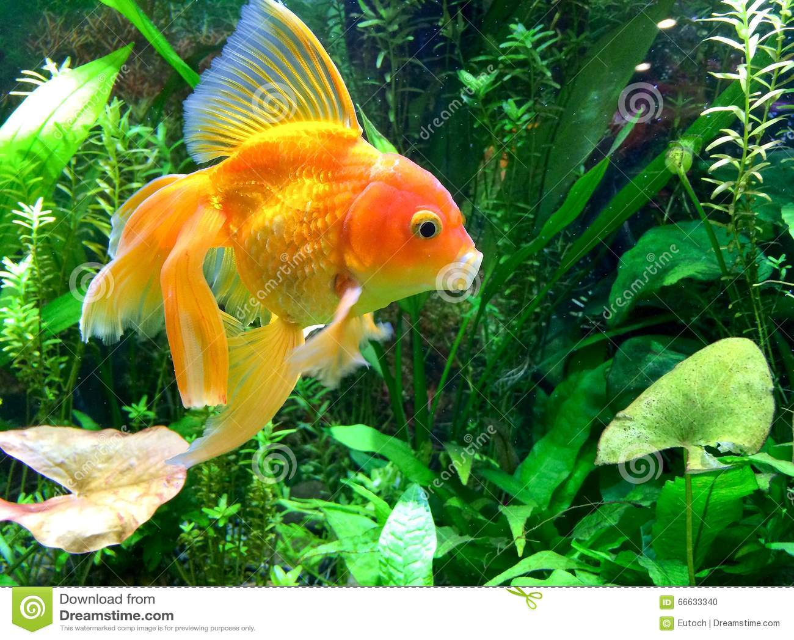 Aquarium g hnende goldfische stockfoto bild 66633340 for Koi mit goldfischen