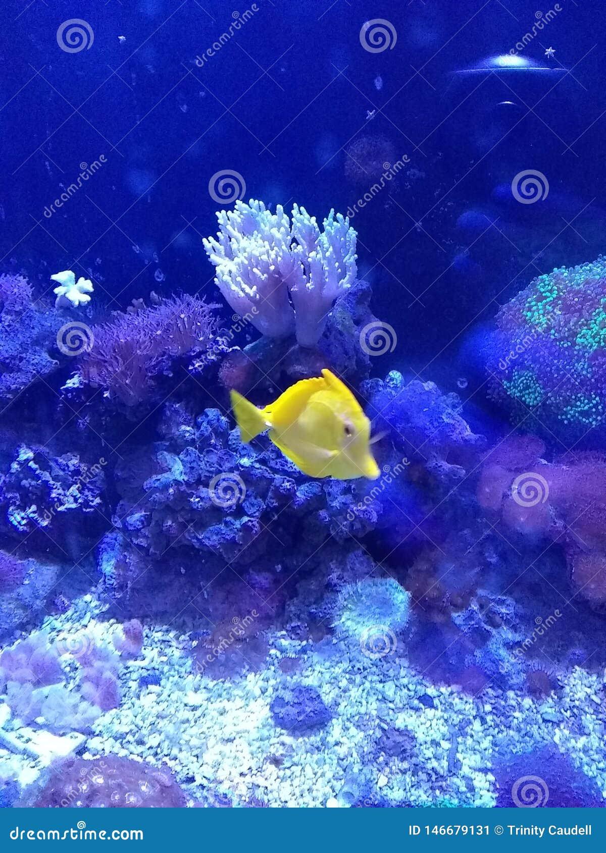 Aquarium mit yellowtang