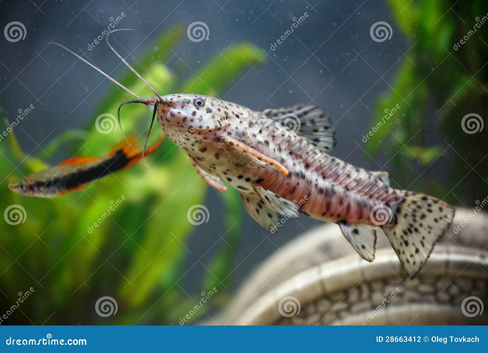 Aquarium Small Fishes ( Hoplosternum Thoracatum) Stock Photography ...