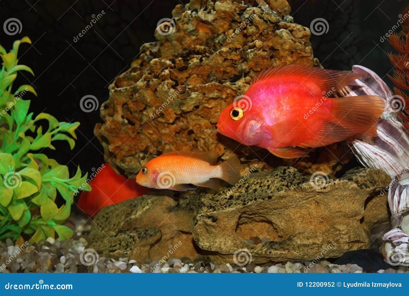 Aquariumfische - barbus