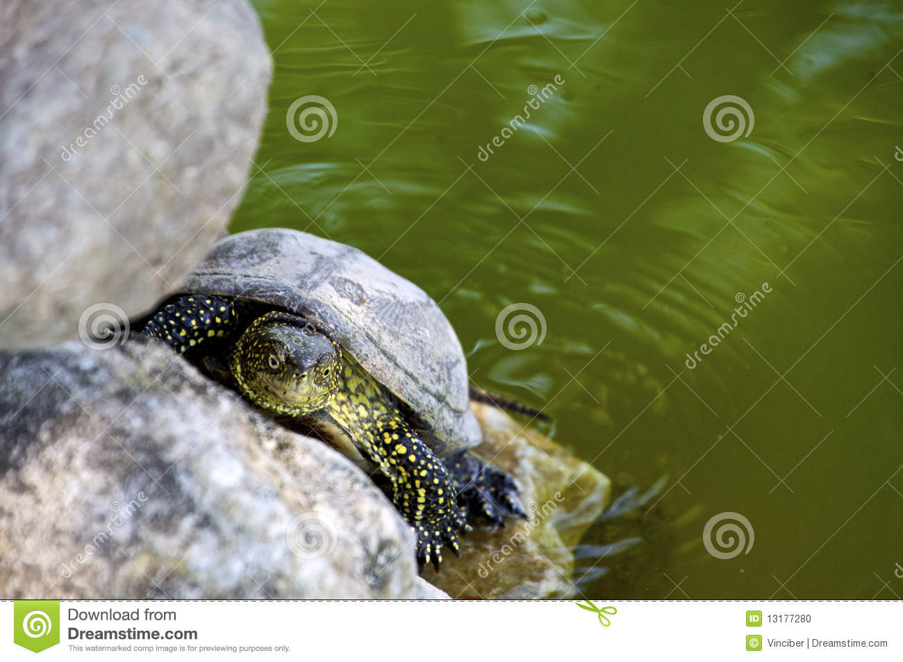 Aquatic Turtle Stock Photo - Image: 13177280