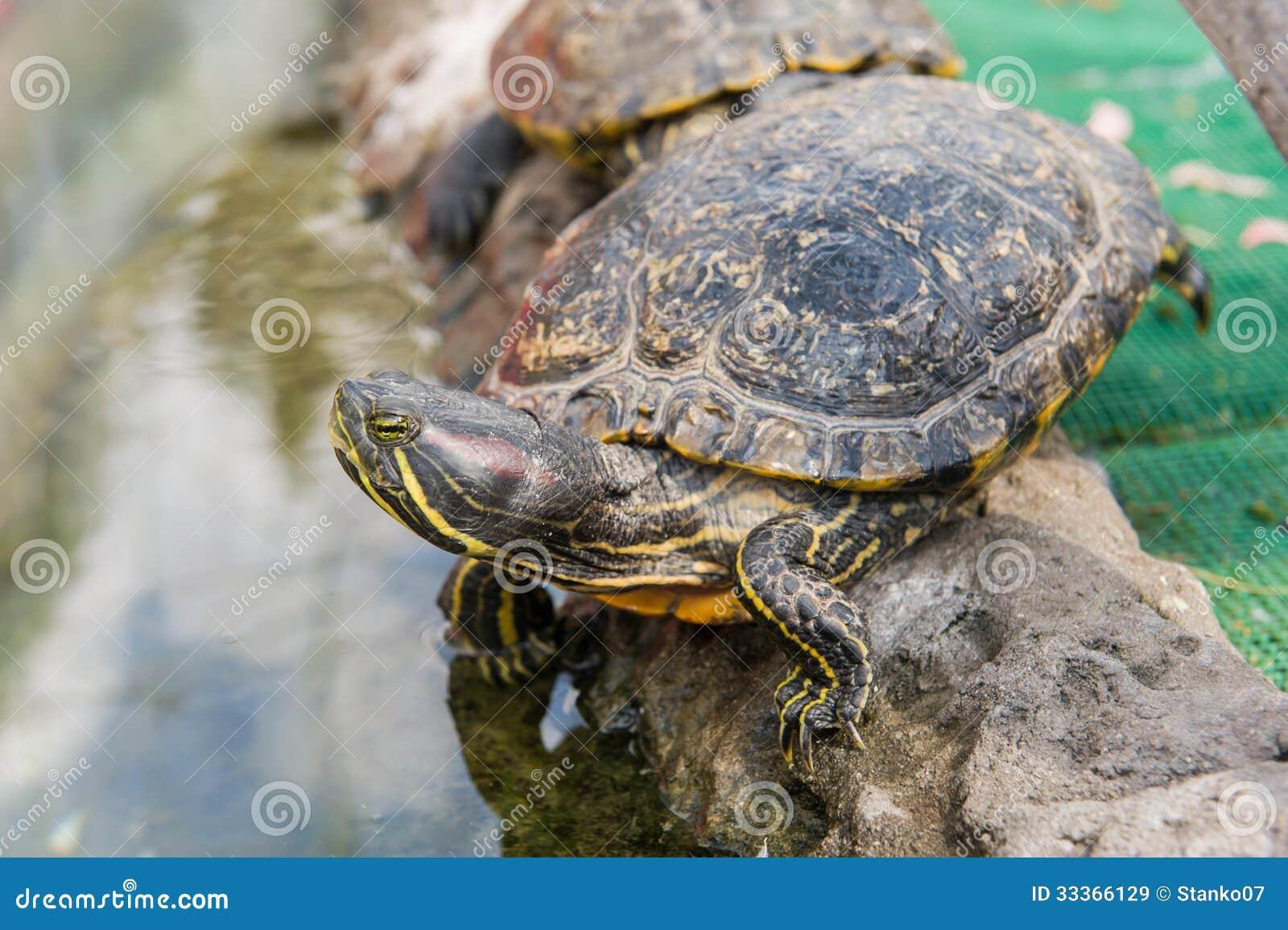 O G Turtle Documentary Aquatic Turtle Royalty...