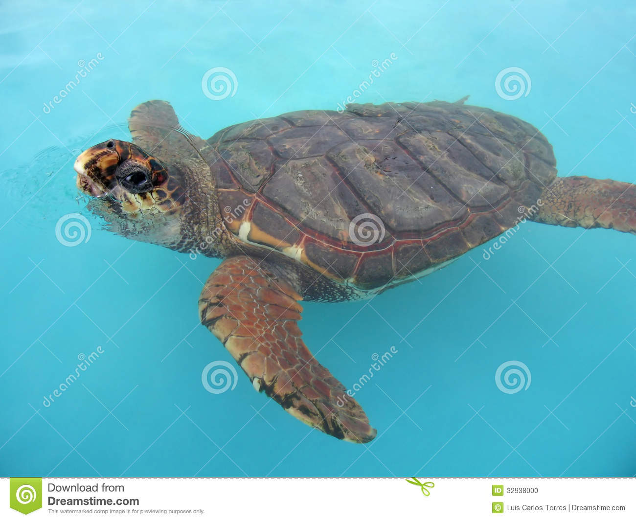 Aquatic turtle swimming on clean water.