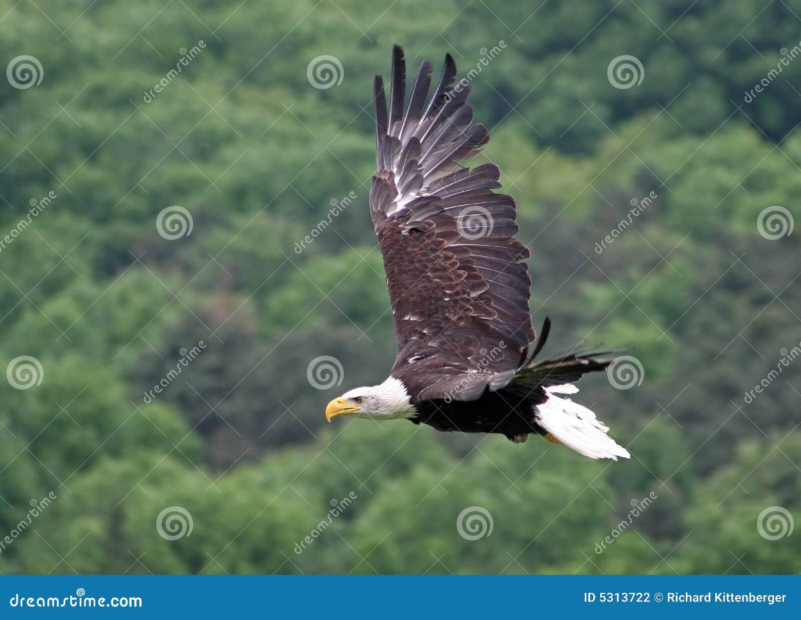 Download Aquila fotografia stock. Immagine di animale, volo, uccello - 5313722