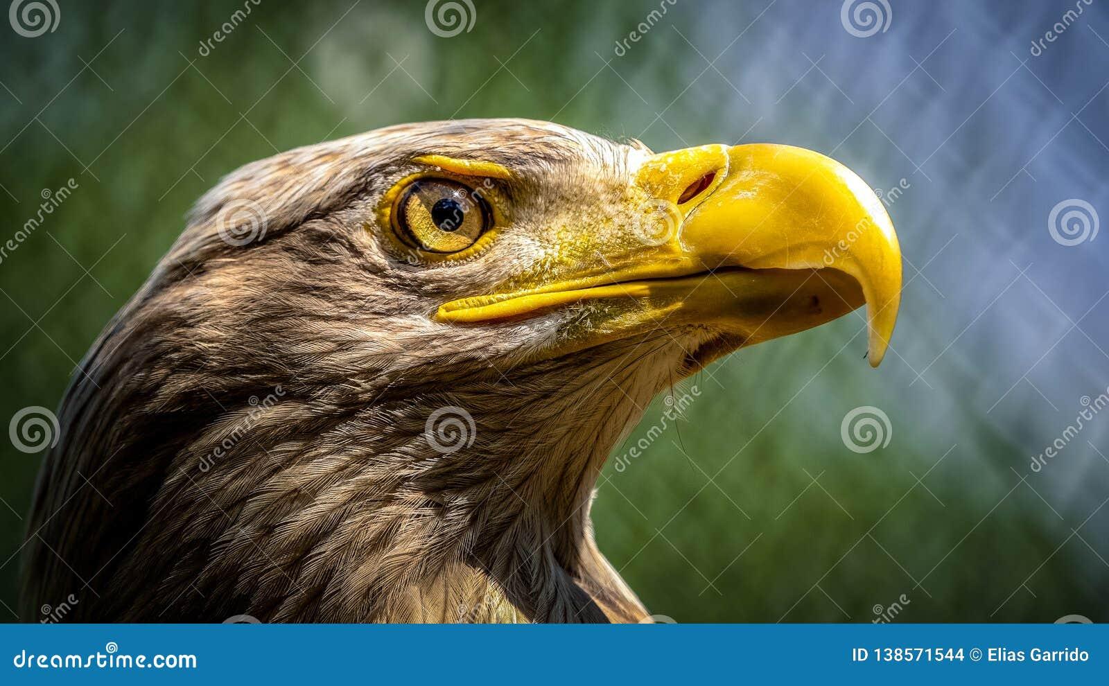 Aquila Bianco-munita