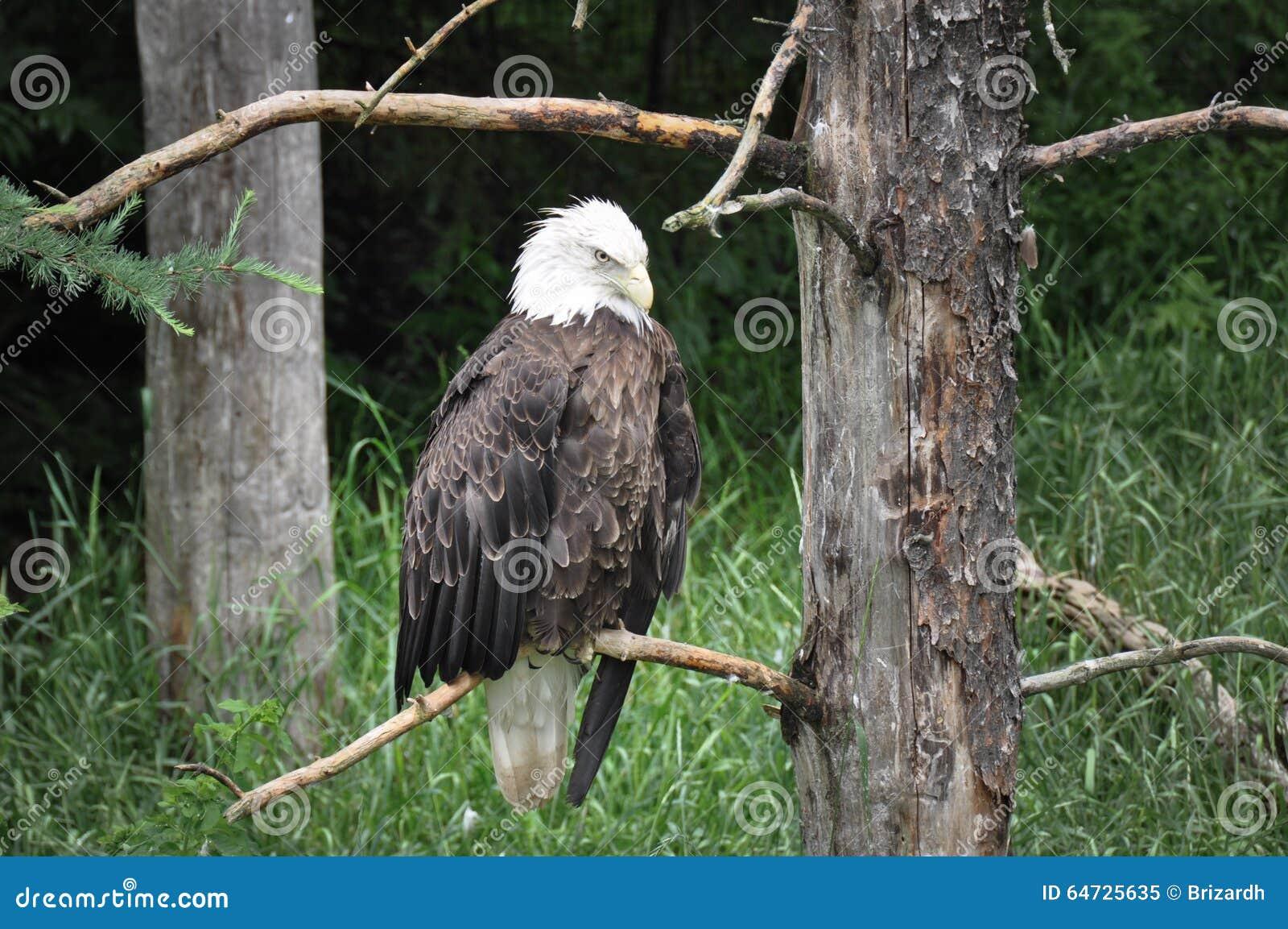 Aquila calva alla st-Felicien dello zoo, Quebe, Canada