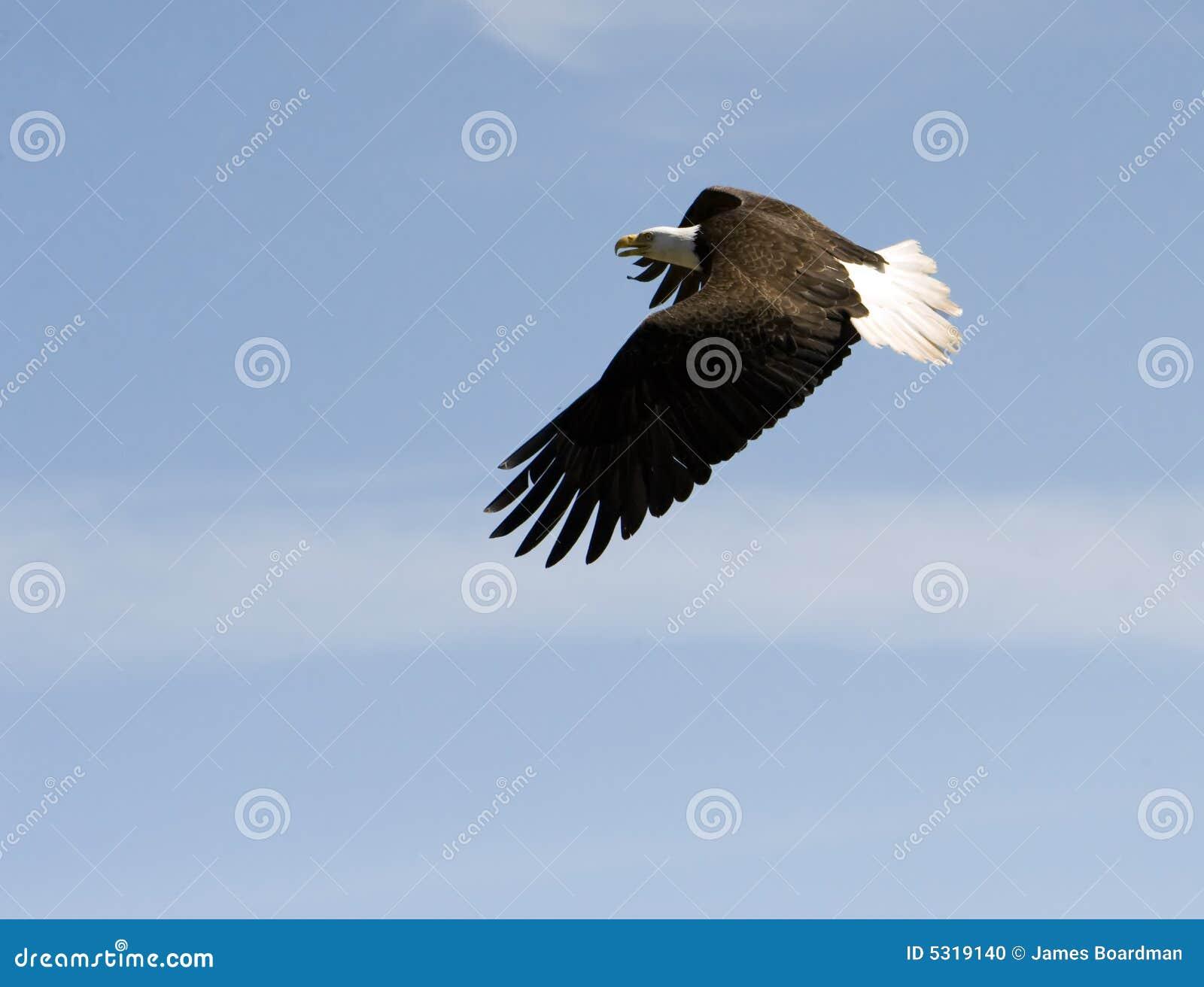 Download Aquila Calva Durante Il Volo Fotografia Stock - Immagine di aquila, piume: 5319140